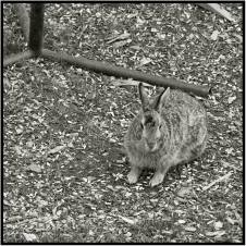 April 28: Oh, oh. Don't tell Dorette, but there was a bunny in her backyard before dark tonight. Usually that means setting a live trap, and if successful, free transportation to a local park preserve.