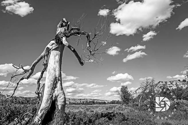 """""""Walking Man Tree"""" This dead tree caught my eye and in looking at it from the side view, it looks like the arms and legs of a person walking to the right. I liked this in black and white."""