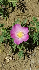 North Dakota;s state flower, the Wild Prairie Rose, dots the hillside of Black Butte, adding fragrance and beauty to a rocky landscape.