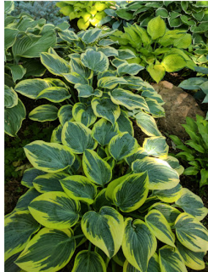 First Frost Hosta, which has become one of my favorites.