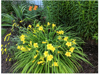 The first my sister gave to me, Happy Returns Daylily with Radiant Simplicity in the background.