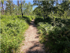 A brief section of trail goes through ferns.