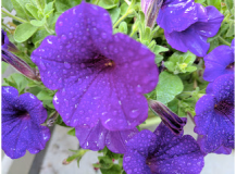 More good old Petunias.