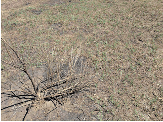 The newly emerged green grass in contrast to burned sagebrush.