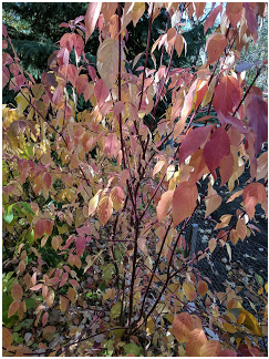 Red-osier Dogwood.