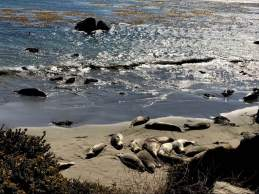"Pacific Ocean Elephant Seal ""rookery,"" just four miles from Hearst Castle in San Simeon."