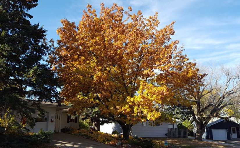 LILLIAN CROOK: WildDakotaWoman — A State Champion Tree — In Our Yard!