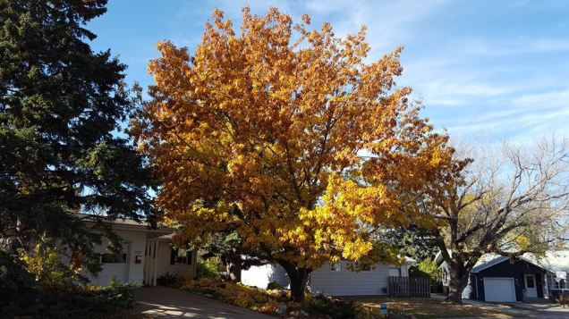Our State Champion Red Oak in all its fall splendor. Come and see it in October.