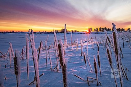 Frost on the cattails at sunrise.