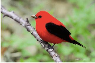 Scarlet Tanager.