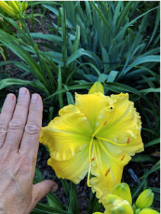 Butter Cream daylily.