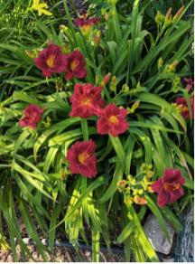 Siloam Red Ruby daylily.