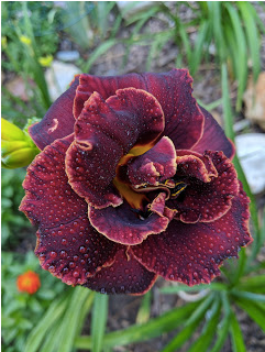 Night Embers daylily.