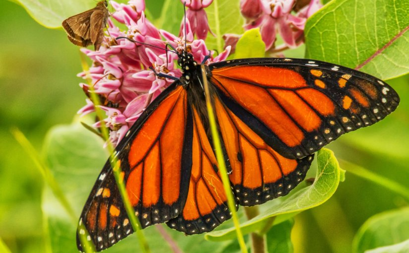 MICHAEL BOGERT: Photo Gallery —Majestic Monarchs