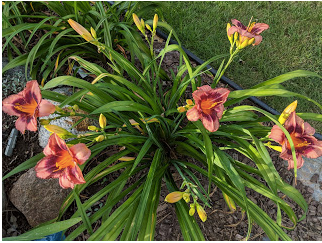 ust Plum Happy daylily.