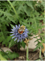 Orange-banded bees on small globe thistle.