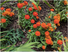 Profusion orange zinnia.