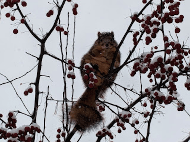 A repairman at the house last week told me this was the fattest squirrel he'd ever seen. The squirrels feast on the crabapples and suet and sunflower bird feeders.