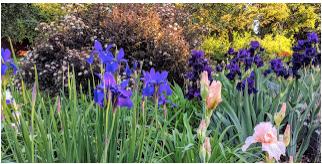 Peak Purple, including Badlands Iris (purple on upper right).