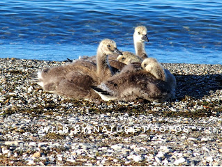 Canada goslings, Yellowstone Lake.