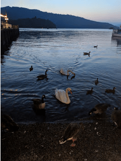 Mute Swans come to beg from me at sunset, Windermere Lake.