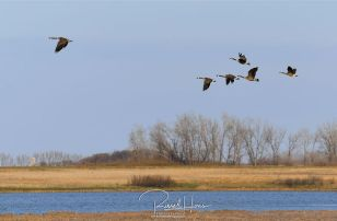Wildlife near Grand Forks, ND and East Grand Forks MN. By Russell Hons