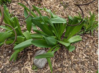 Giant allium showing ill effects of the cold snap.