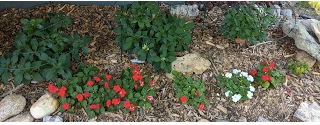 Little Quickfire Hydrangea, a new perennial I'm attempting in a very dry location. The rabbits are munching on the impatiens in the foreground but I seem to have gotten ahead of those varmints this year in this location.