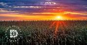 """Country Cornfield Sunset."""