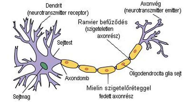 Neuron-leírással.