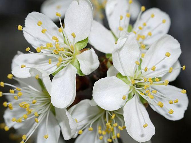 Virágzó gyümölcsfa.