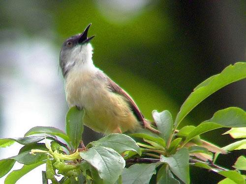 énekes madár.