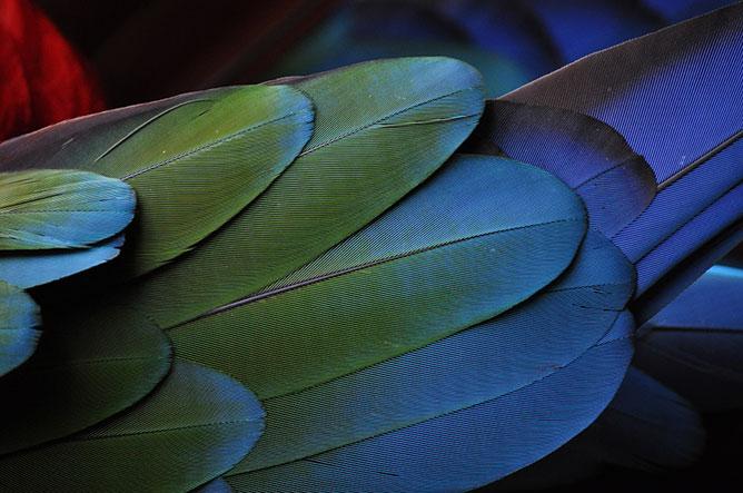 színes madártoll.