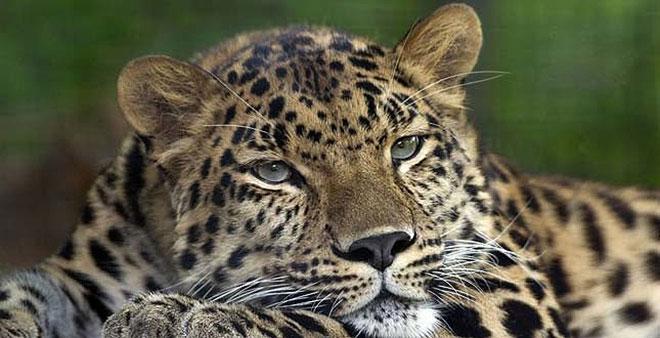 leopárd.