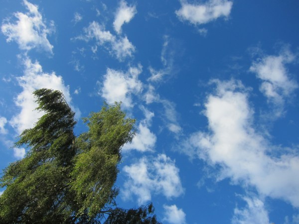 birch & sky