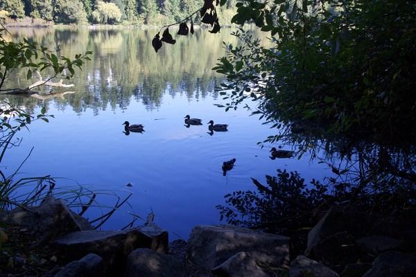 04 ducks on the lagoon
