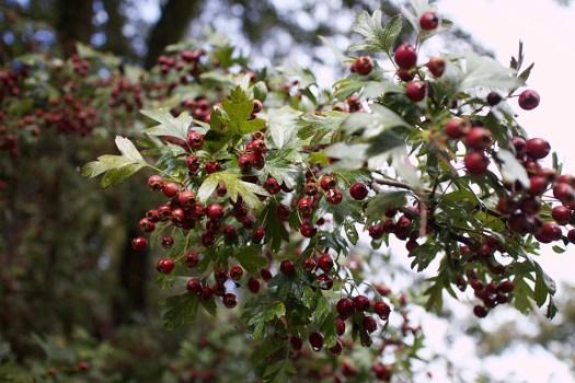 05-hawthorn-berries