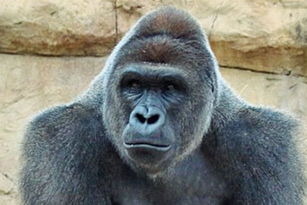 Remembering Harambe One Year After His Death Harambe at Gladys Porter Zoo before being relocated to Cincinnati Zoo 1