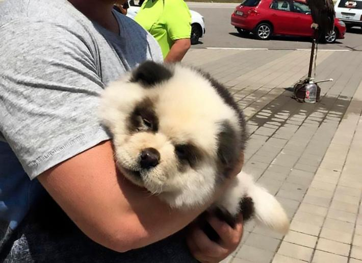 Man Caught Scamming Tourists By Dyeing Dog To Look Like Baby Panda PANDA 1