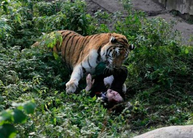 Shocking Moment Zookeeper Is Mauled By Tiger siberian tiger attacked an employee in kaliningrad zoo 2 vkontakte east2west news e1509898844819