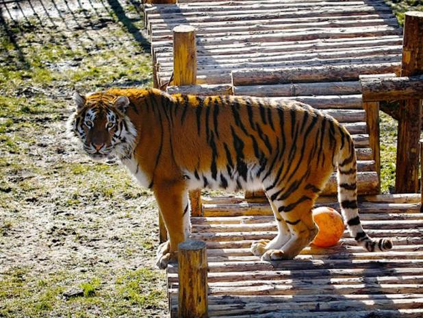 Shocking Moment Zookeeper Is Mauled By Tiger siberian tiger in kaliningrad zoo 1 kaliningrad zoo east2west news