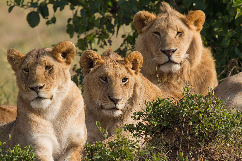https://i0.wp.com/www.unilad.co.uk/wp-content/uploads/2018/02/800px-Lions_Family_Portrait_Masai_Mara.jpg?w=1060&ssl=1