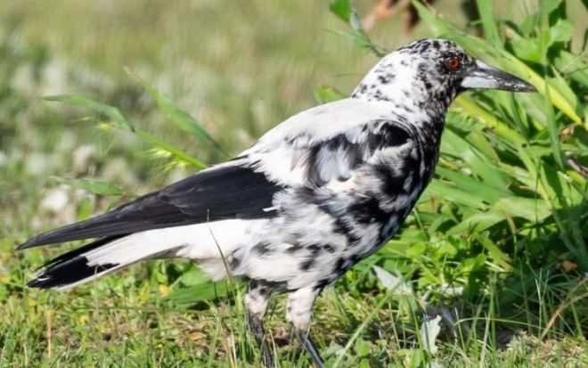 Dalmatian-patterned magpie spotted in Australia