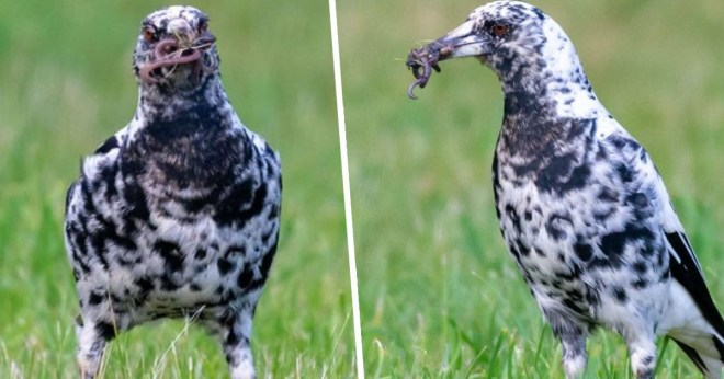 Dalmatian-patterned magpie