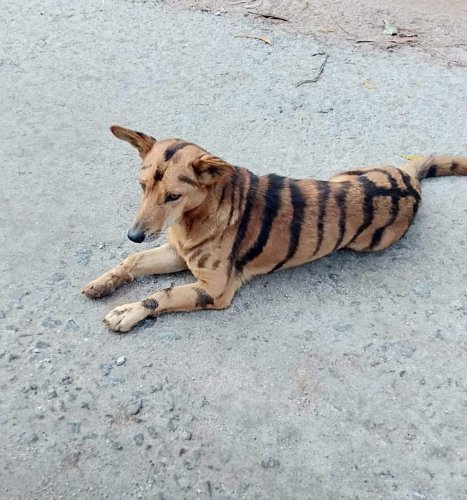 Farmer Paints Tiger Stripes On Dog To Stop Monkeys From Eating His Crops