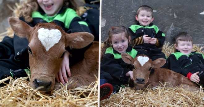 Cow Born On Valentine's Day With Perfect Heart-Shaped Patch On Its Head