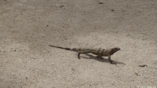 eine Vielzahl von Leguanen