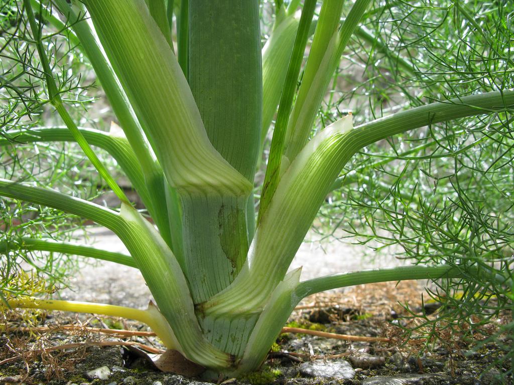 finocchio selvatico pianta