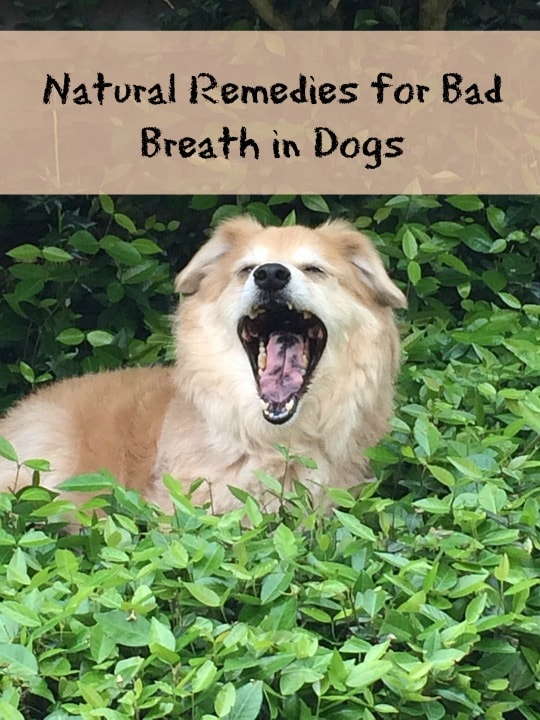 natural remedies for dogs bad breath