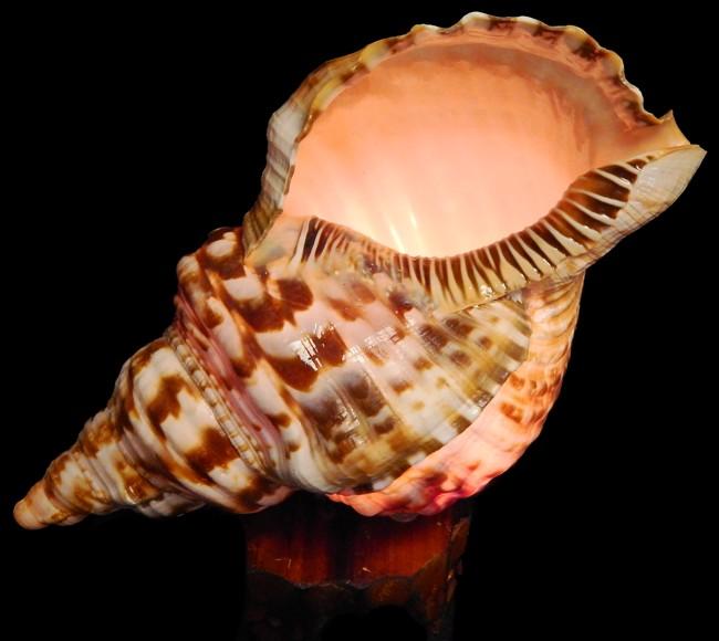 Triton Sea Shell Accent Lamp